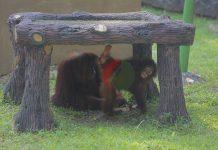Aktivitas orangutan di Taman Margasatwa Ragunan setelah dibuka kembali